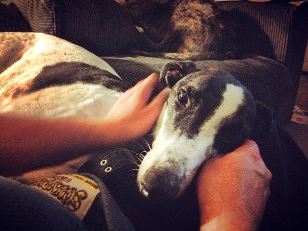 They're not noisy. | 8 Reasons You Should Think About Adopting A Greyhound