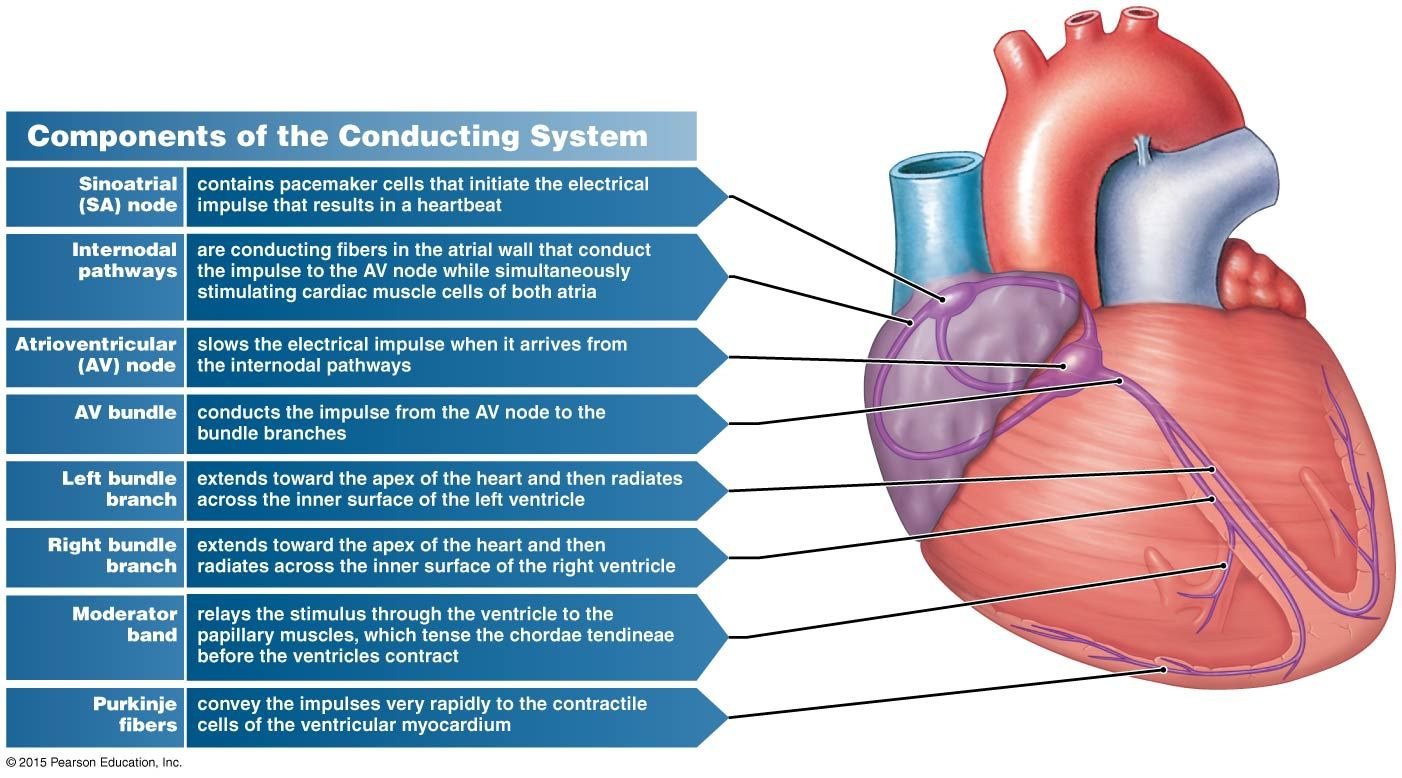 Figure showing the conducting system of the heart, and the ...