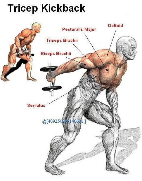 Triceps kickbacks exercise central pinterest for Plank muscles worked diagram