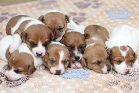 Jack Russel Puppies For Sale In Gauteng With Images Jack