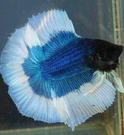 Poisson combattant combattants pinterest poisson for Poisson combattant aquarium
