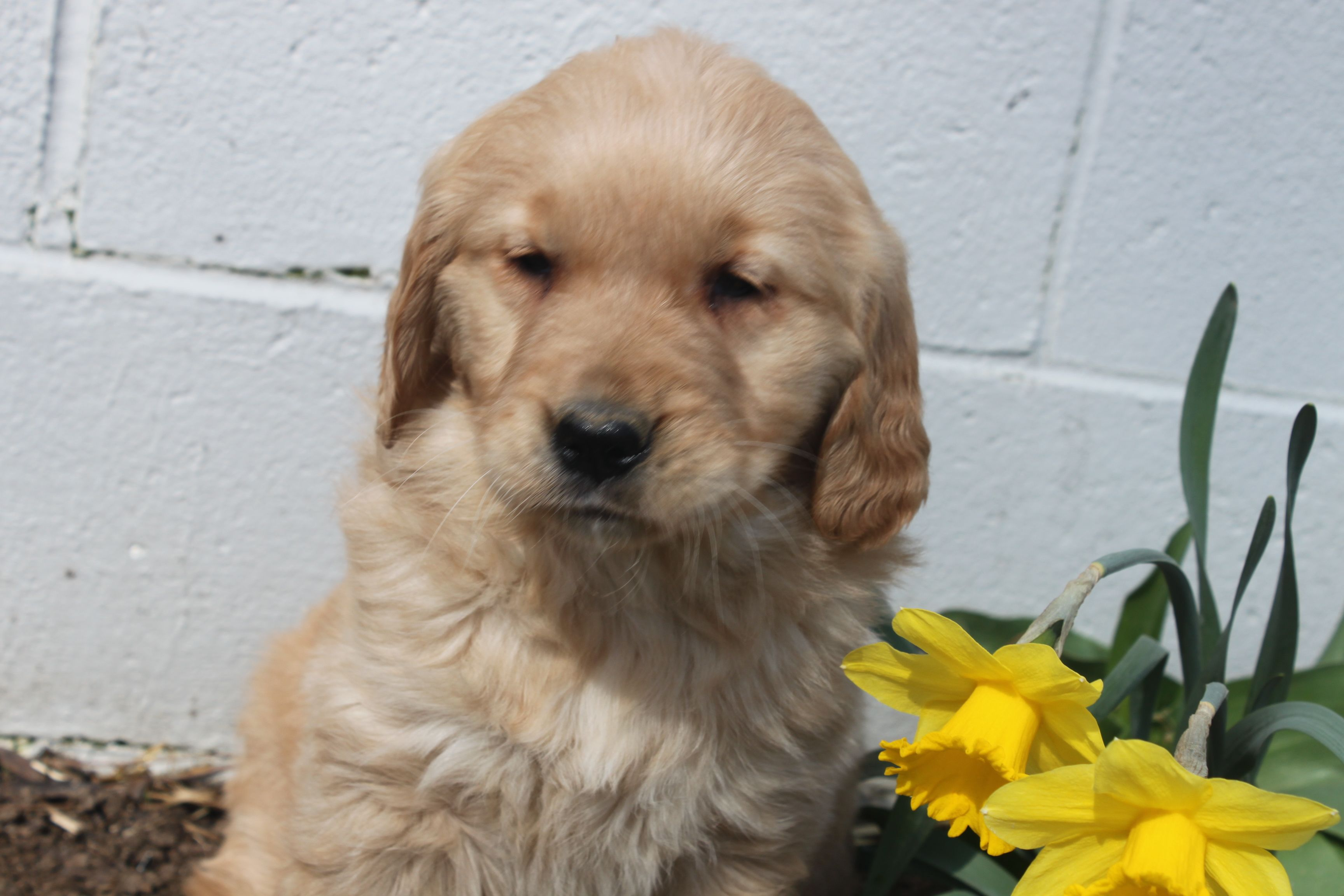 Here is the first female golden retriever puppy posted at