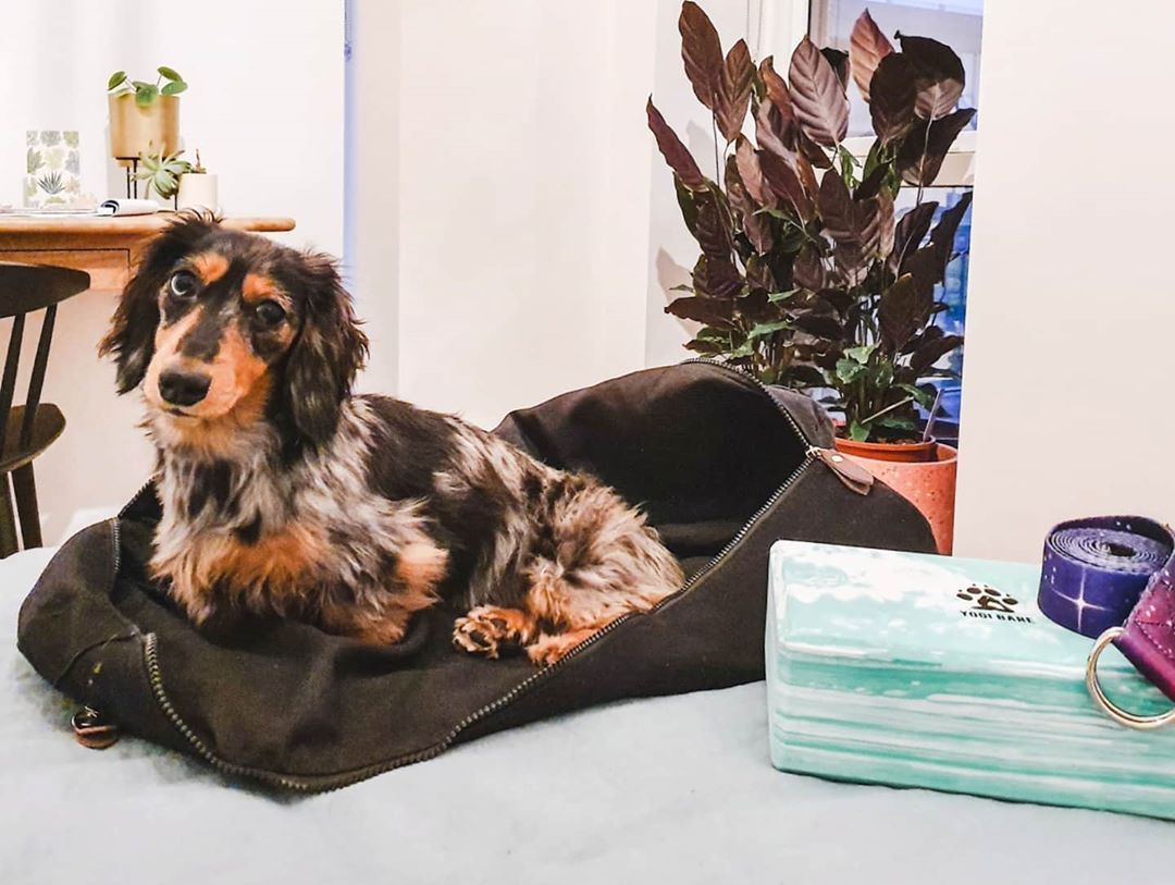 Yoga Dog When Is Dachshund Not A Dachshund When It S A Yoga Mat Nabbed Me A Cosy Sleeping Bag As Soon As The In 2020 Dog Yoga Dogs Sleeping Bag