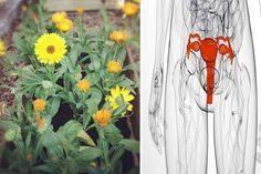 La Caléndula Es Una Planta Que En Forma De Infusión Nos Va Ayudar A Limpiar Las Trompas Obstruidas En La Anatomía Femenin Trompas Obstruidas Calendula Trompa