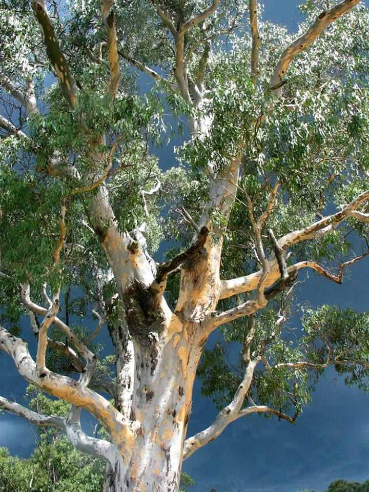 The Australian Eucalyptus tree is one of the fastest growing trees ...