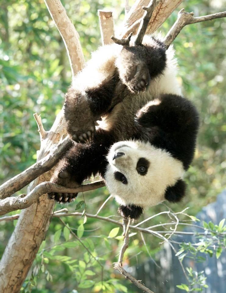 Pin Von Anna Kurscheid Auf Panda Pandas Panda Bilder Panda Bar