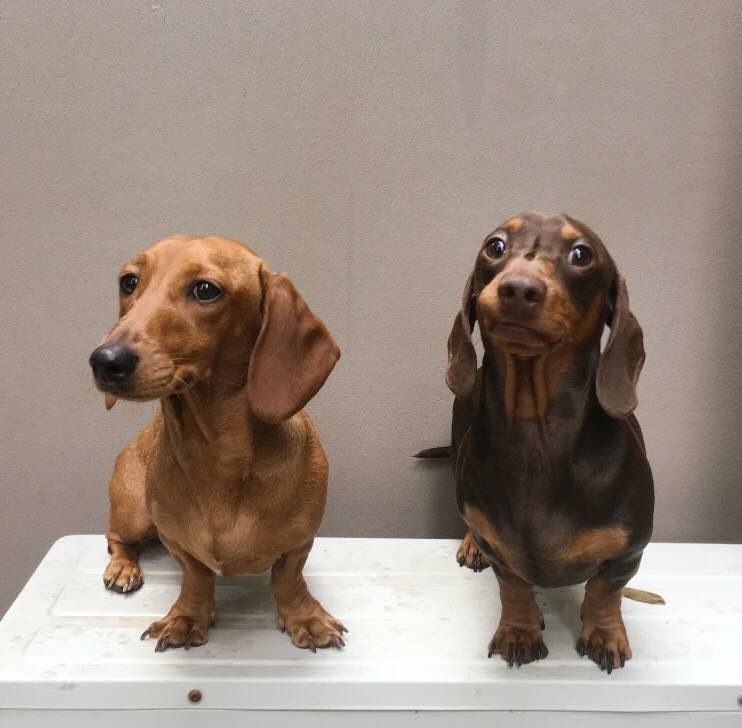 Pin By Sherry Garrett On Dachshund Doxie Puppies Doxie Dogs