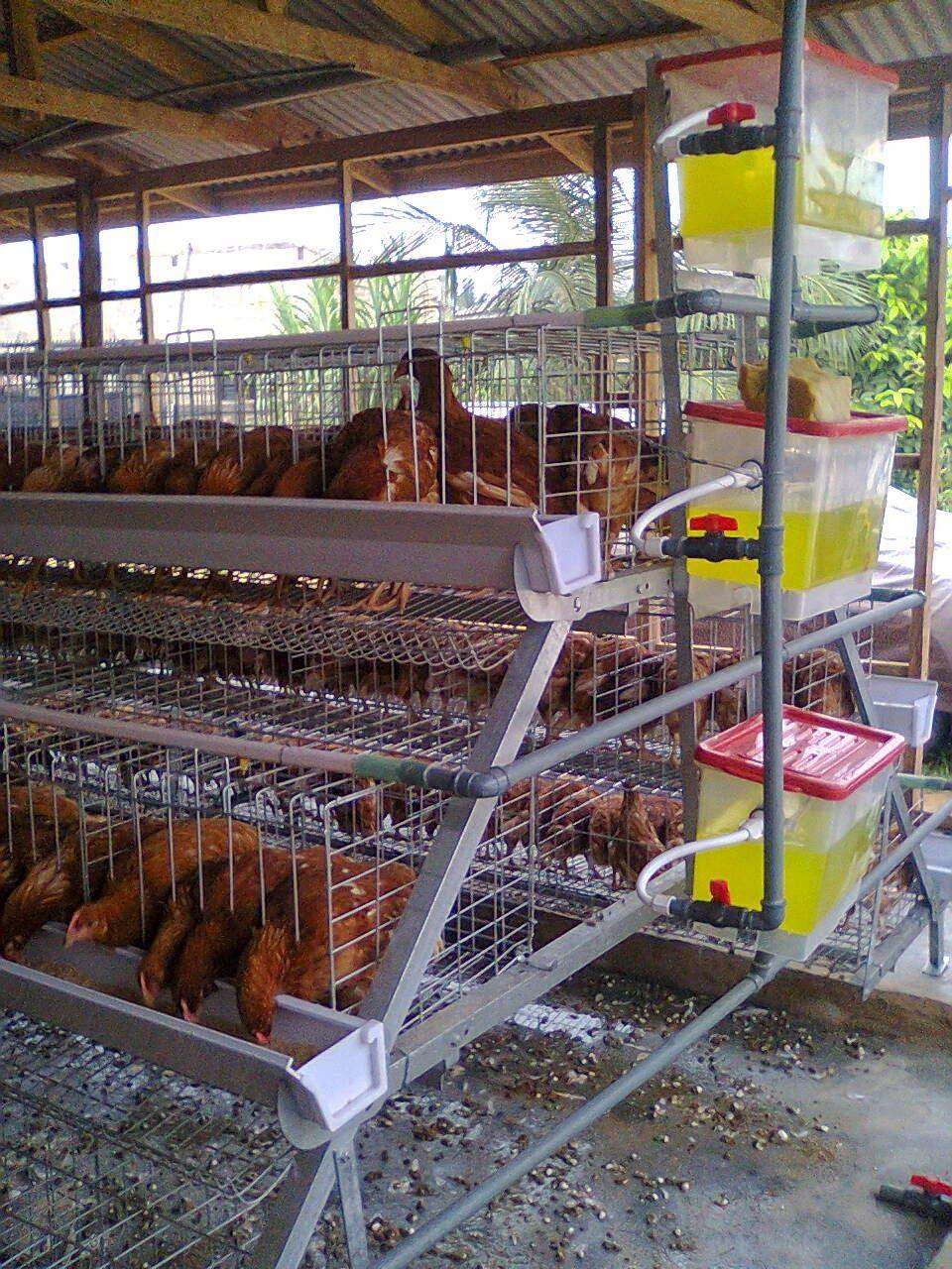 Country Chicken Farm House Design Kandang ayam, Ayam, Kebun