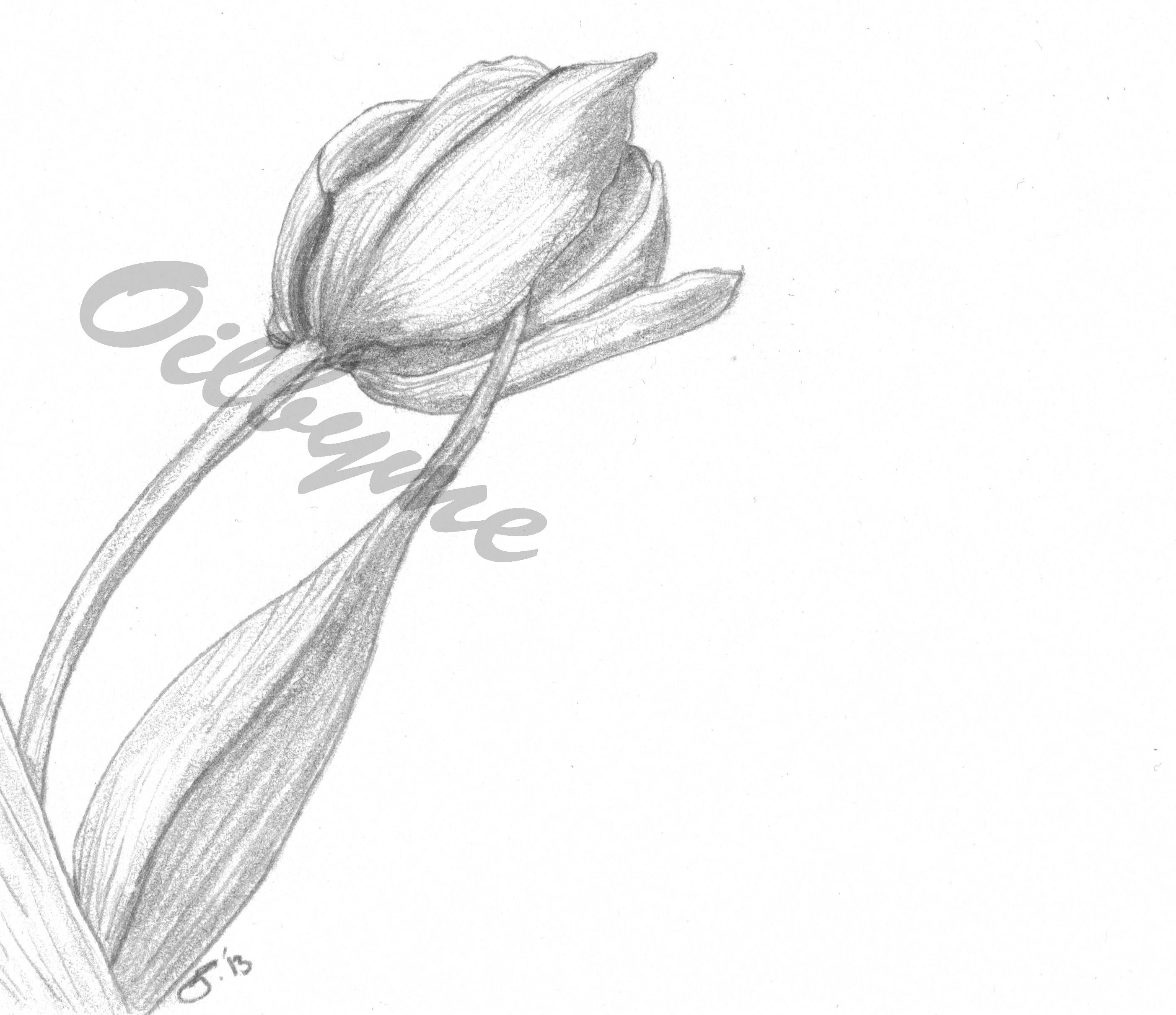 tulip sketch 6x4 sketches pinterest sketches
