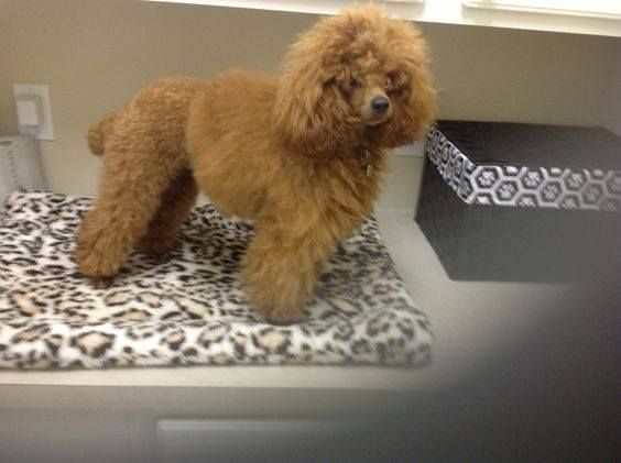 Say Hi To Harley One Year Old Red Mini Poodle Poodle Red Poodles