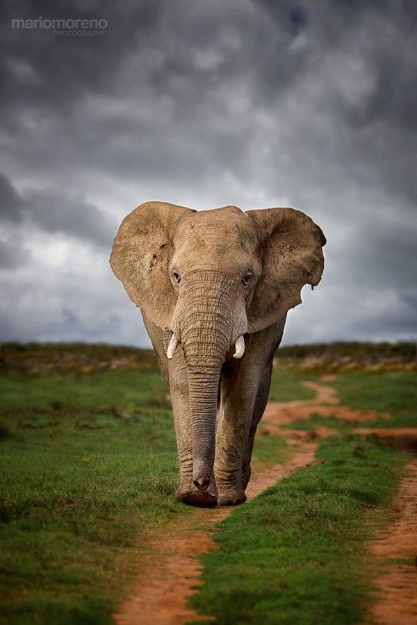 ~~Elephant Path | An Elephant walks down a path that leads straight to Harpoor Dam in Addo Elephant National Park in South Africa's Eastern Cape | by Mario Moreno~~