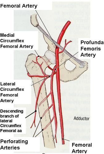circumflex artery - Google Search   vascular   Pinterest