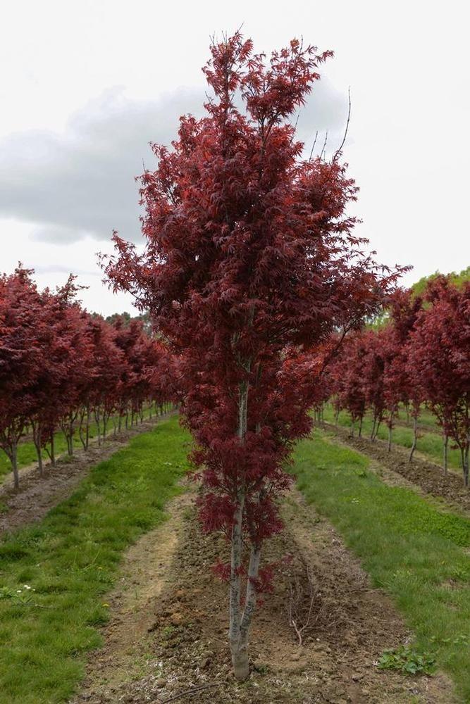 acer palmatum skeeter 39 s broom red dwarf japanese maple. Black Bedroom Furniture Sets. Home Design Ideas