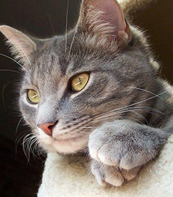 Gorgeous Gray Kitten