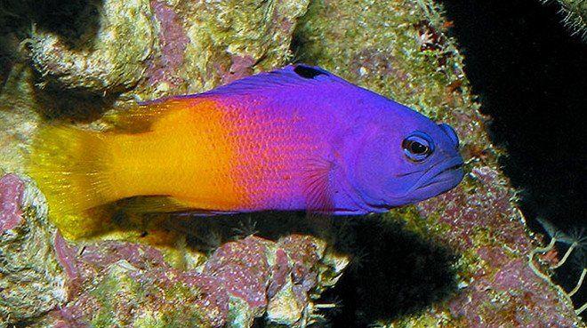 Royal Gramma Saltwater Fish Tanks Saltwater Aquarium Fish Saltwater Aquarium
