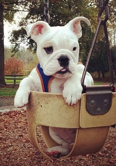 English Bulldog Bulldog Bulldog Funny Cute Animals