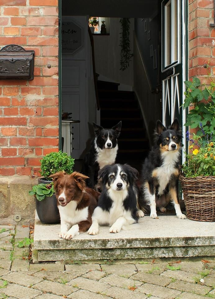 Border Collies ready to go out and play...