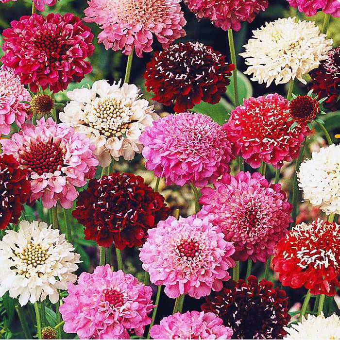Details about SWEET SCABIOUS PINCUSHION GIANT MIX 200
