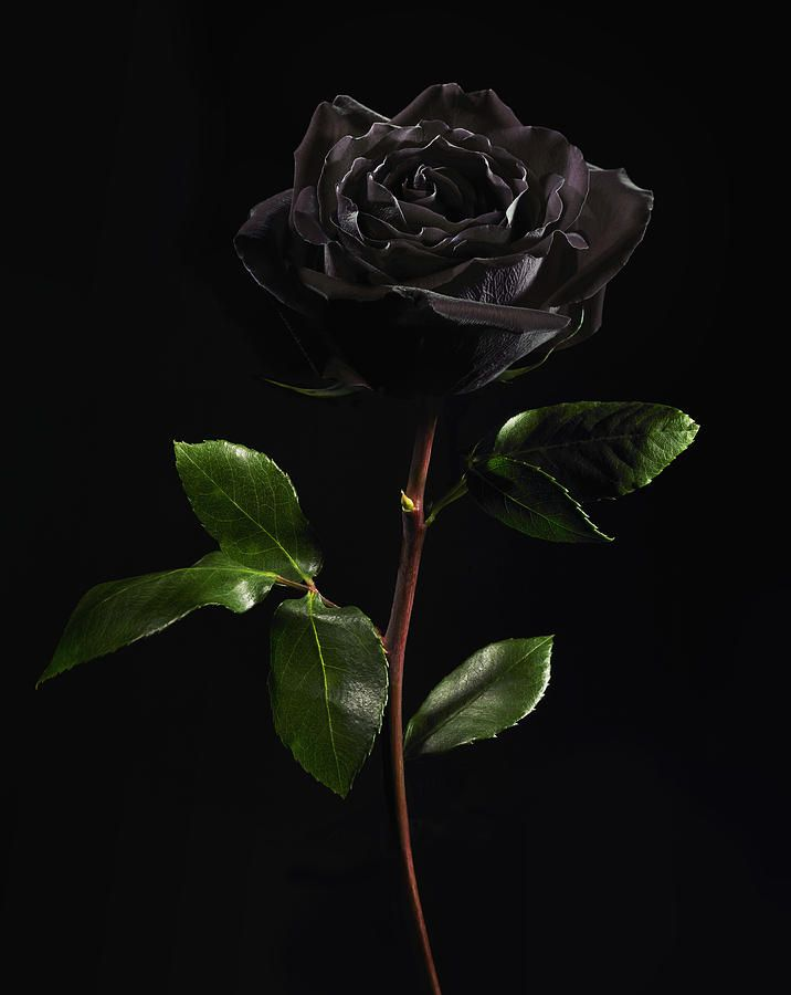Black Rose On Black Background By Lauren Burke Black Rose Picture Black Background Wallpaper Black Rose