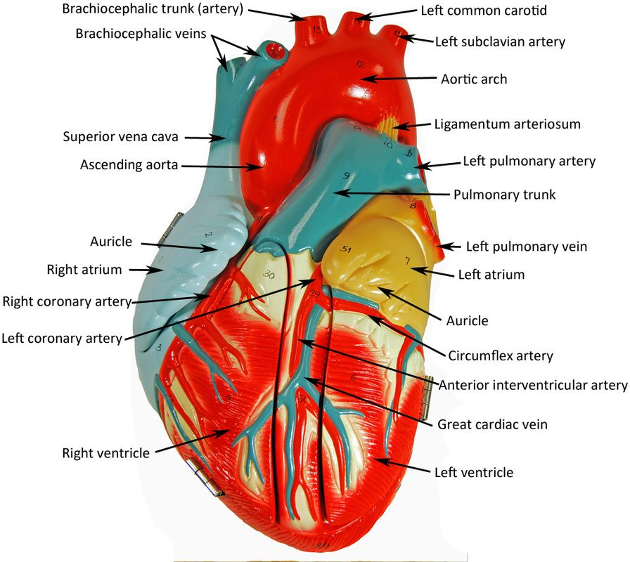 Image Result For Labeled Heart Model Ap Pinterest Anatomy