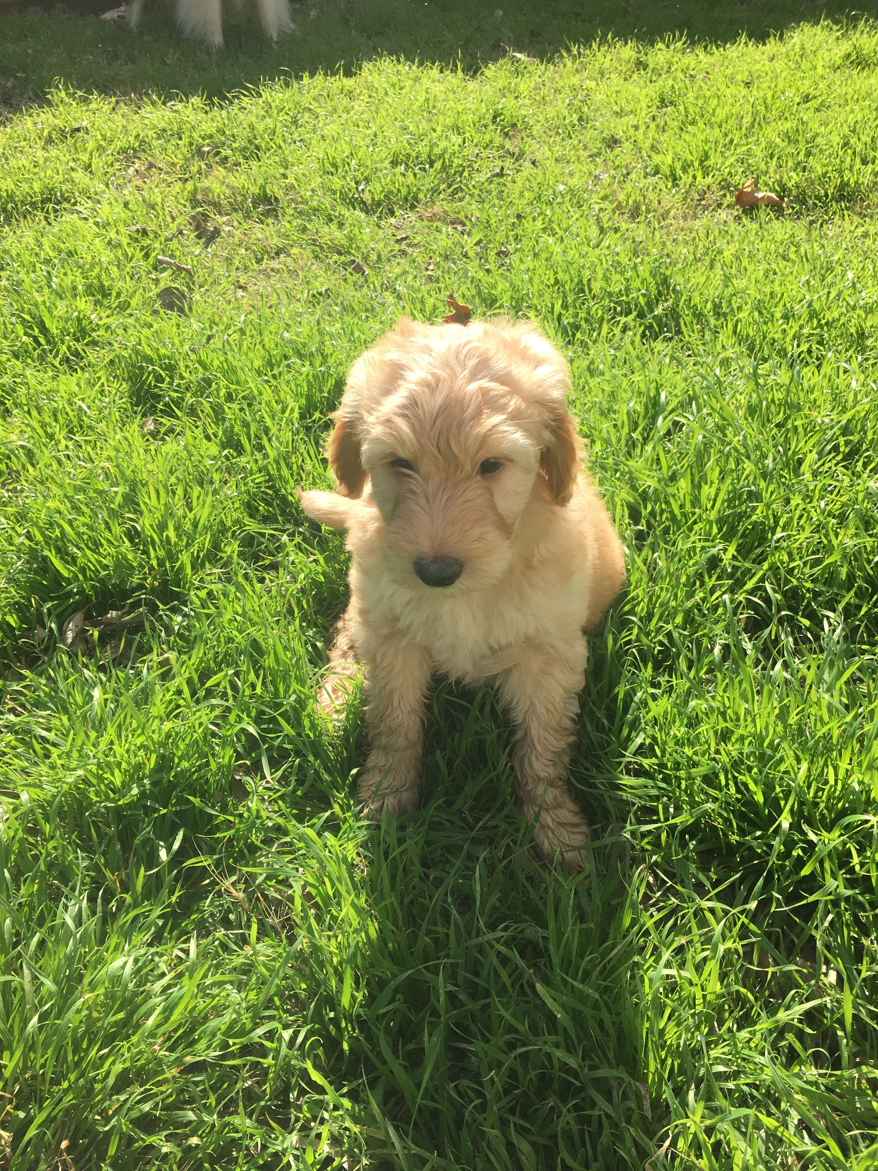 F1b Mini Labradoodle Puppy 8 Weeks Old He Is 75 Standard Poodle