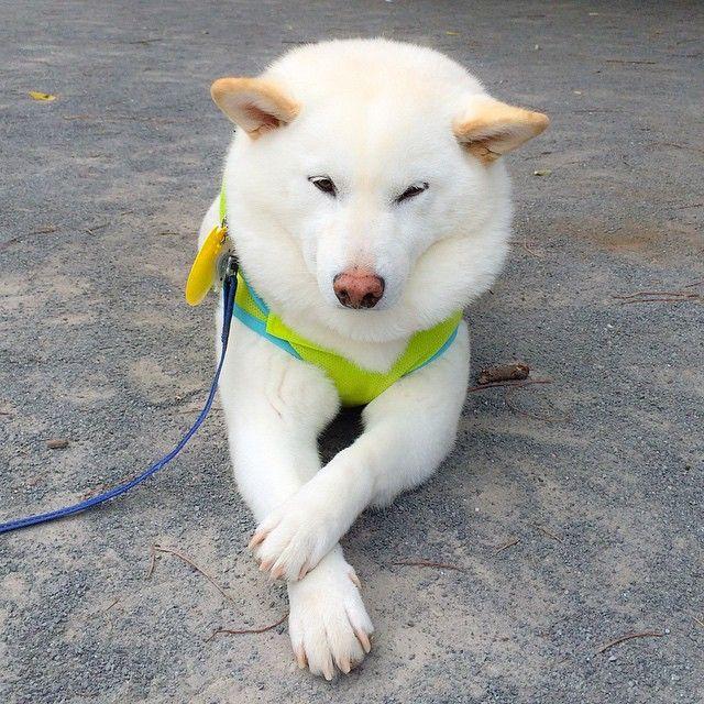 """""""昨日の朝と今朝の写真を。意外と見たことないポーズ!w  #柴犬 #shiba #dog"""""""