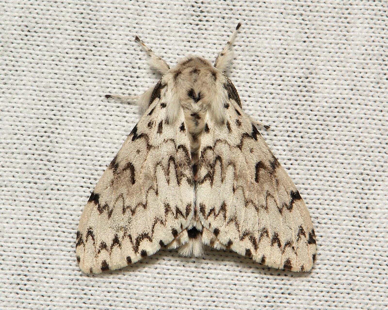 https://flic.kr/p/m5GVqZ | Tussock Moth (Lymantria sp., Lymantriinae, Erebidae) | Pu'er, Yunnan, China                                 see comments for additional image…..