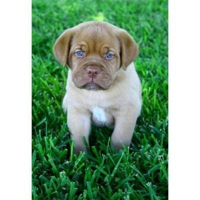 Elegant Mastiff Puppy With Blue Eyes Puppies With Blue Eyes