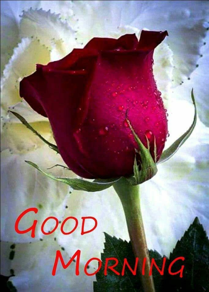 Good Morning My Love We Re Are You To My My King Love Rose