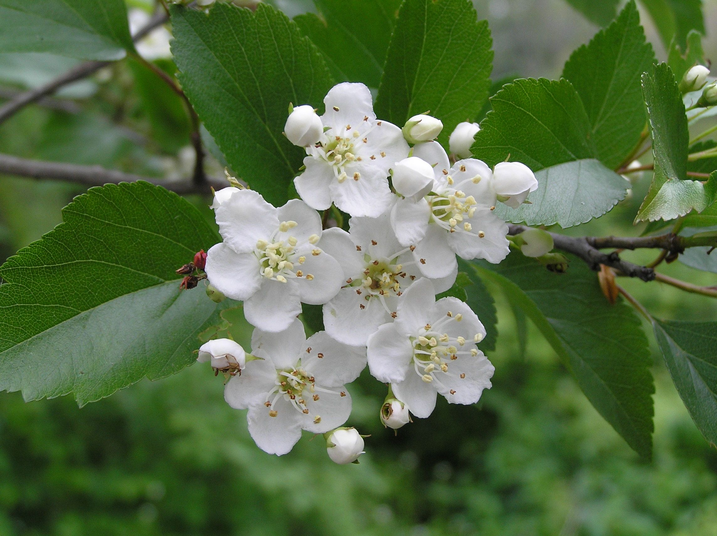 Hawthorn Missouri State Flower Hawthorne Flower Branson Missouri Taney County