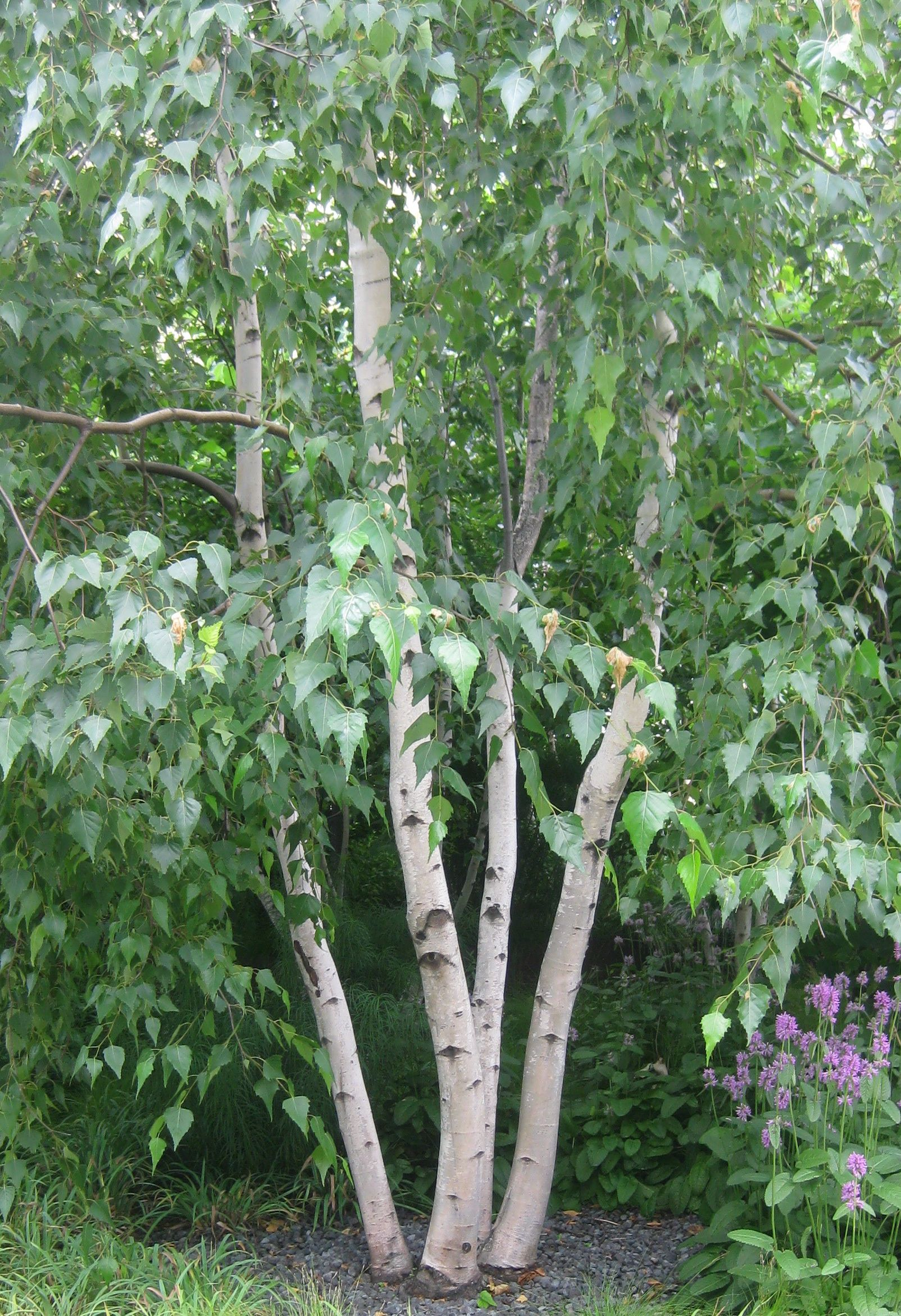 Betula utilis var jaquemontii white stemmed himalayan for Small garden trees 50