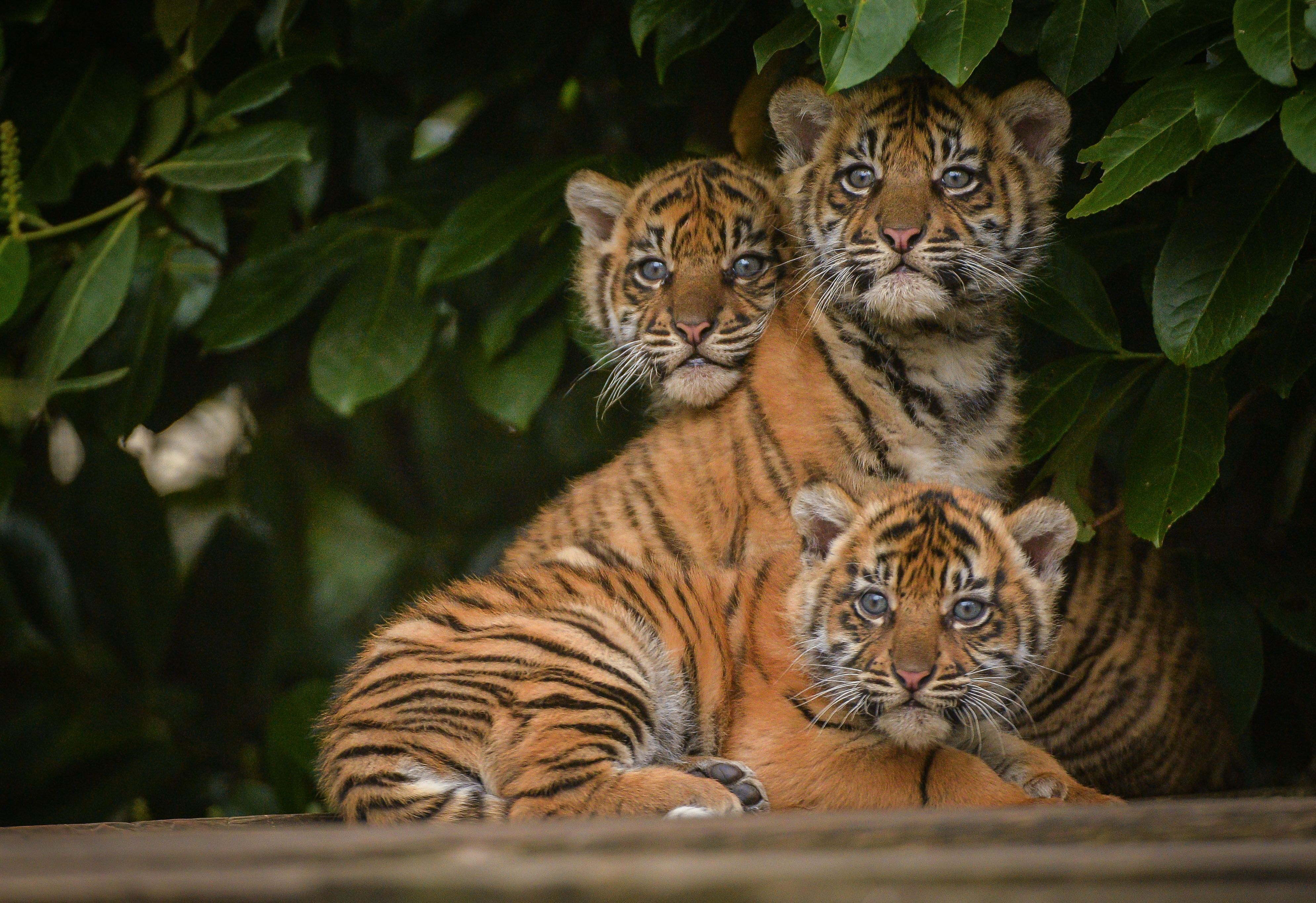 The 12-week-old Sumatran Tiger Cubs, at Chester Zoo, were recently given their new names. Meet 'Jaya', 'Topan', and 'Kasarna'! Check out ZooBorns for more pics and info! http://www.zooborns.com/zooborns/2015/04/sumatran-tiger-trio-got-their-stripesand-names.html