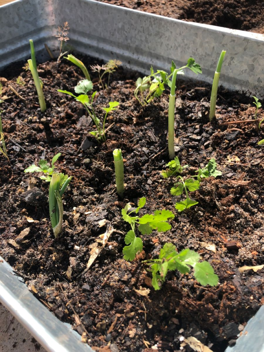 Fresh herbs in 2020 outdoor gardens fresh herbs home