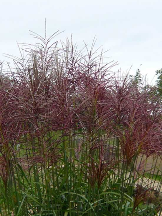 miscanthus sinensis 39 red chief 39 chinaschilf dachterrasse pinterest red chief and gardens. Black Bedroom Furniture Sets. Home Design Ideas