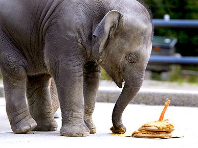 1 Year Old Elephant Has His Birthday Cake and Eats It Too