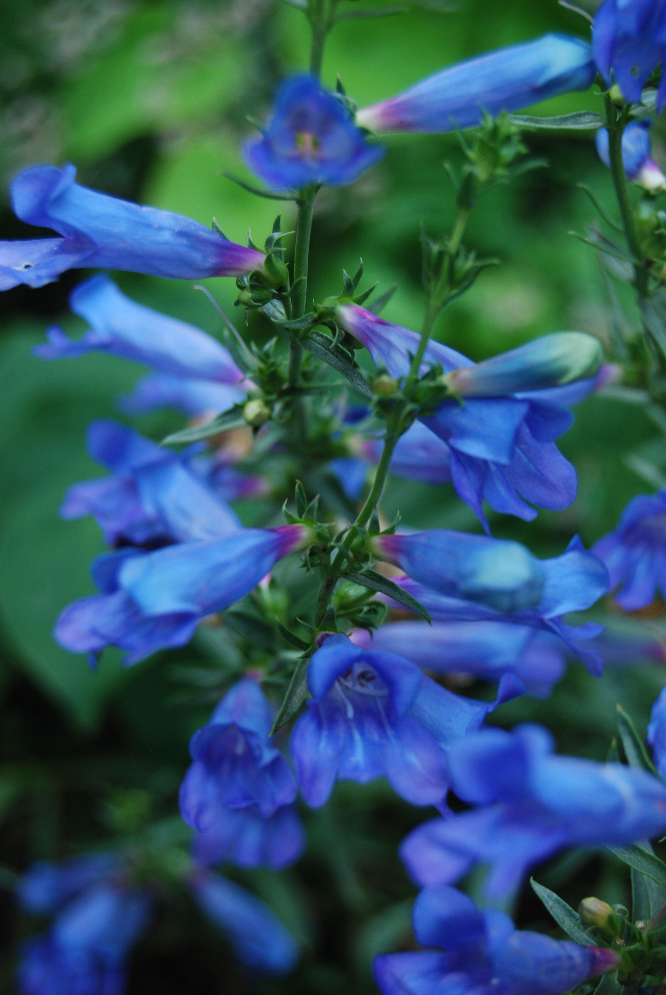 Penstemon Virgatus Blue Buckle Beardtongue Zn 3 8 Bushy Compact Form Produces Masses Of Stiffly Upright Stalks B Blue Garden Annual Plants Unusual Plants