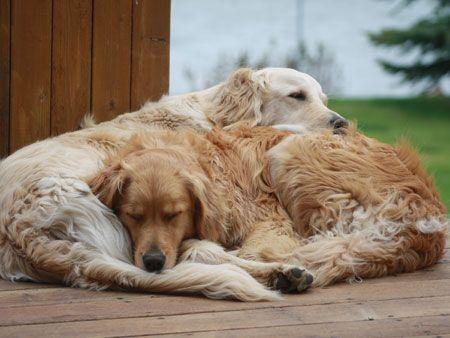 Golden Retriever Noble Loyal Companions Old Golden Retriever