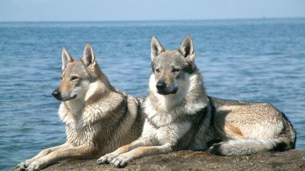 Wallpaper dog, couple, sea, stones, lie