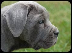 Https Www Facebook Com Photo Php Fbid 699497623537884 Blue Cane Corso Puppies Corso Dog Cane Corso Puppies