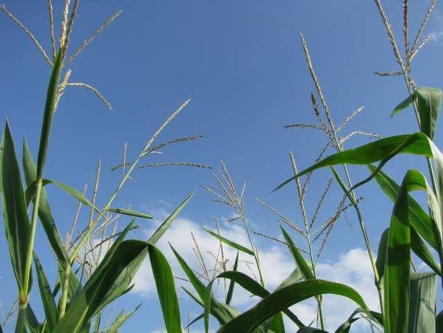 Corn in tassle - test plot at Devolder Farms