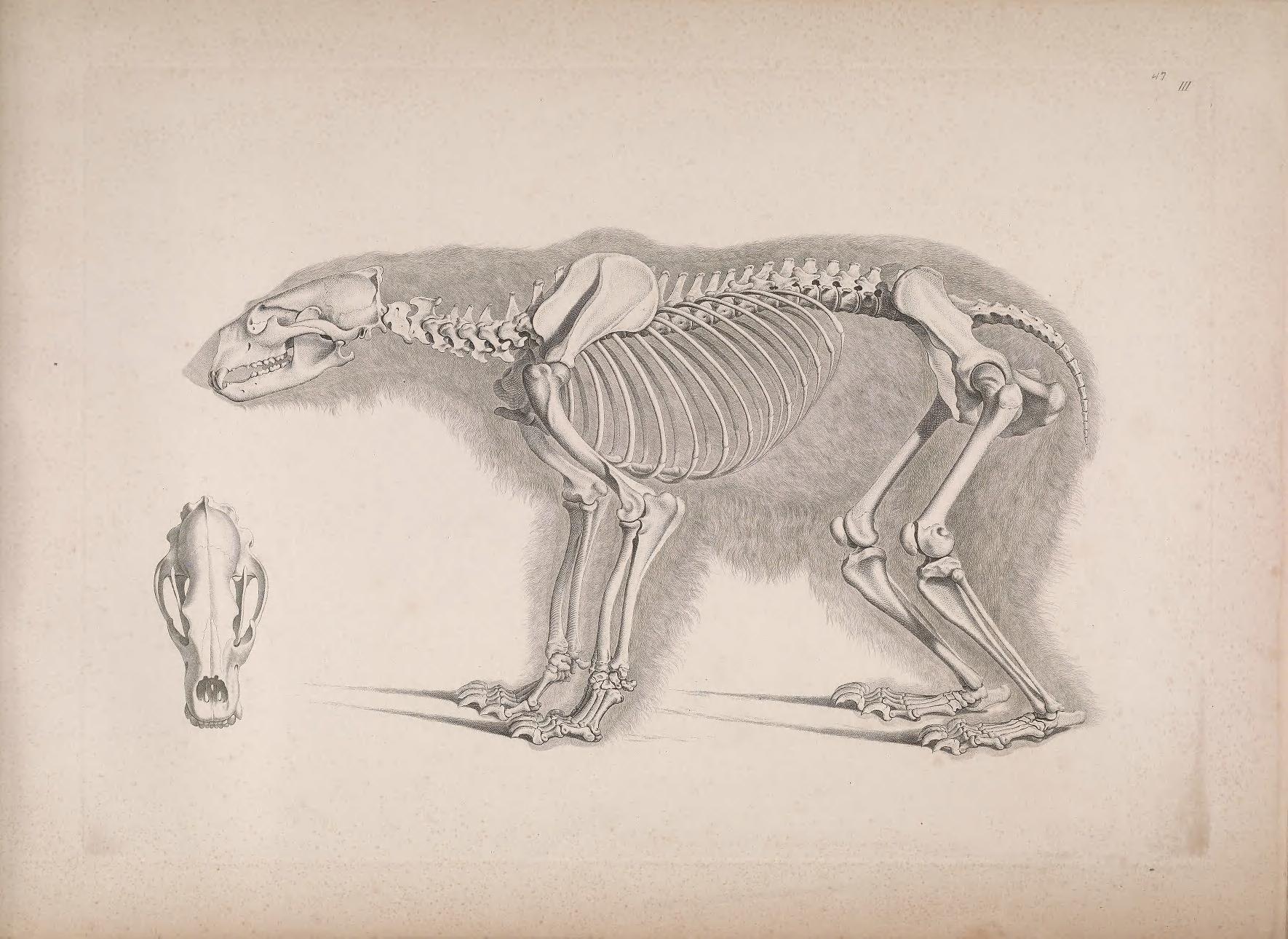 Die vergleichende Osteologie | scalaton | Pinterest | Bären ...