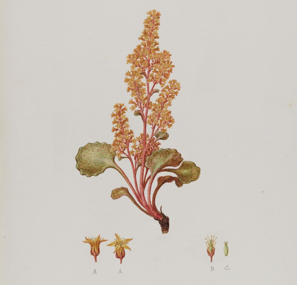 How one of the worlds best botanical artists painted by