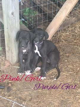 Litter Of 8 Great Dane Puppies For Sale In Warsaw Mo Adn 34851