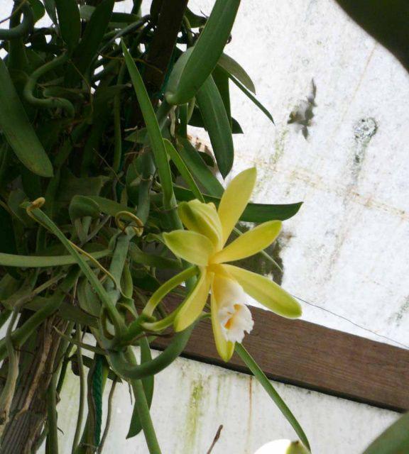 Vanilla Orchid Vanilla Planifolia Grape Growing Trellis