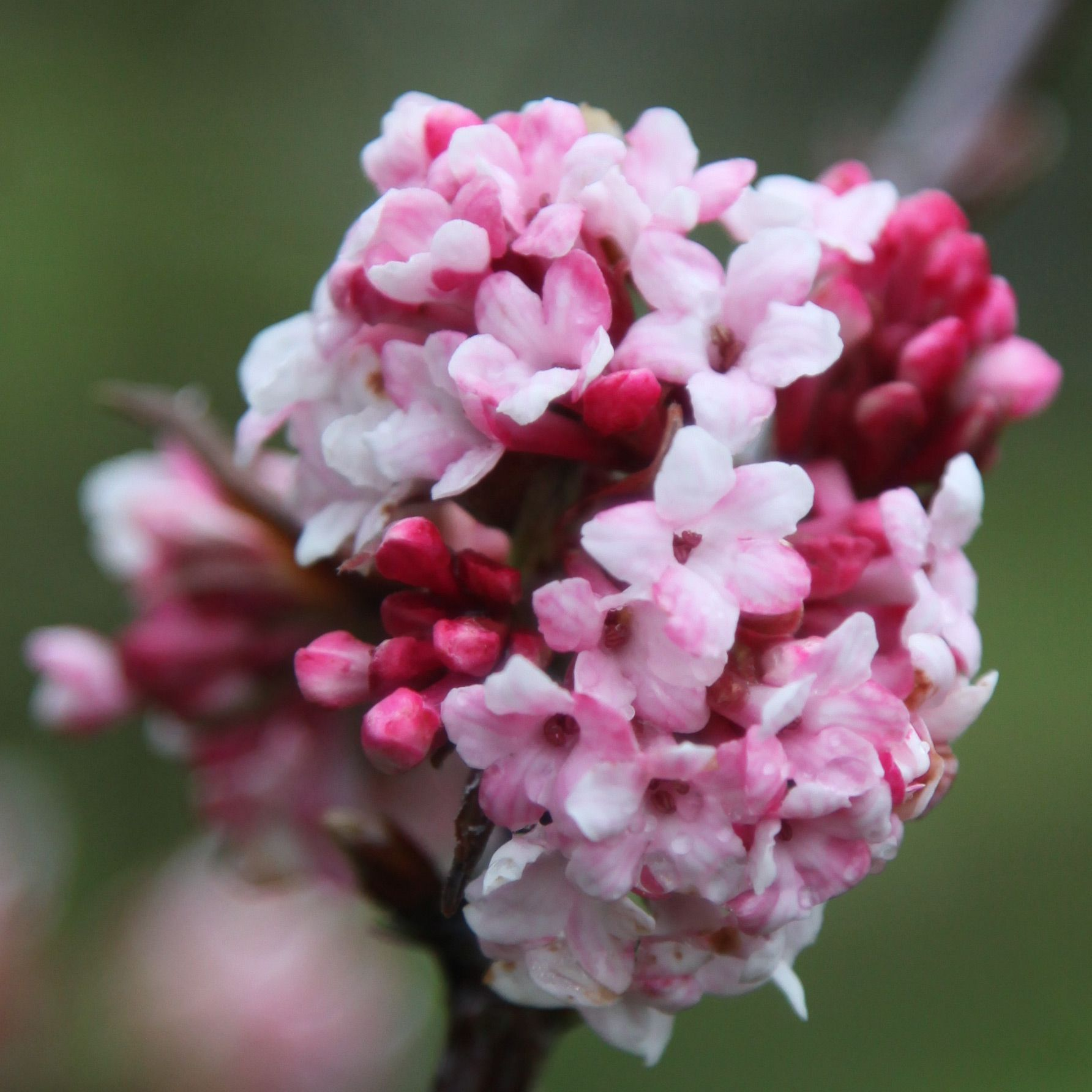 viburnum rhs viburnum pinterest plants and gardens