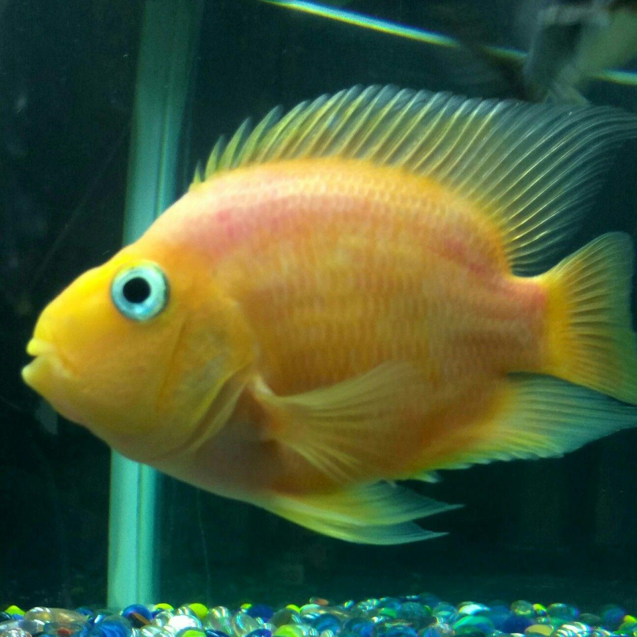 My Yellow parrot fish | Home Decor | Pinterest