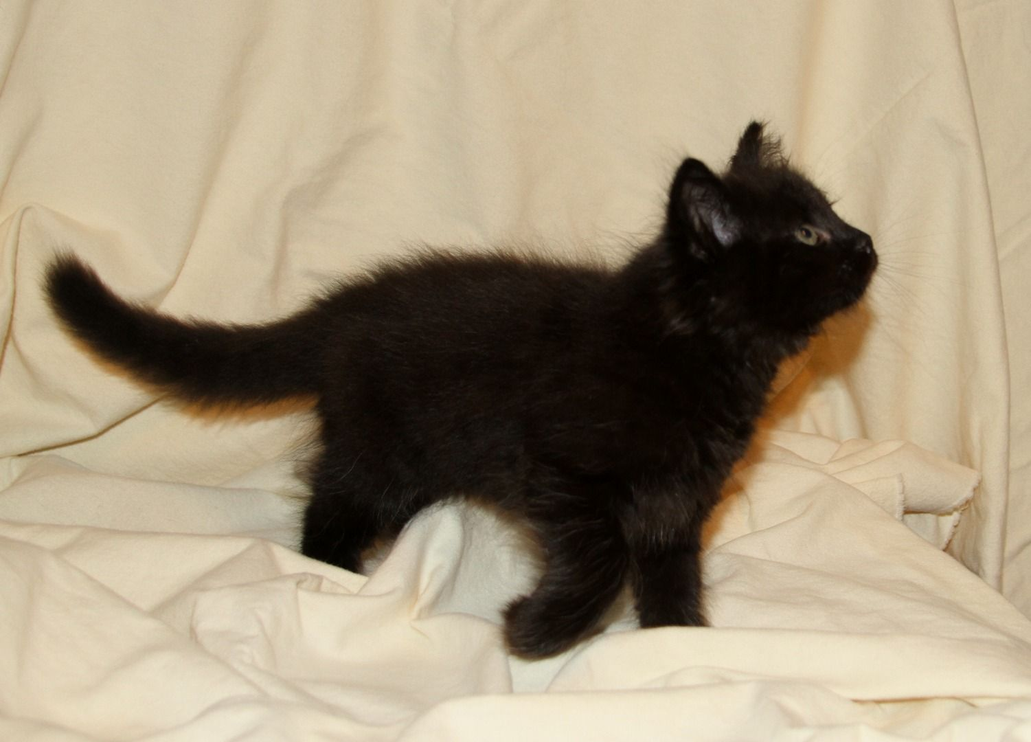 siberians kittens for sale hypoallergenic cats