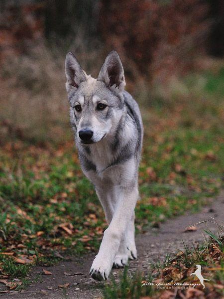Wolfshund Charakter