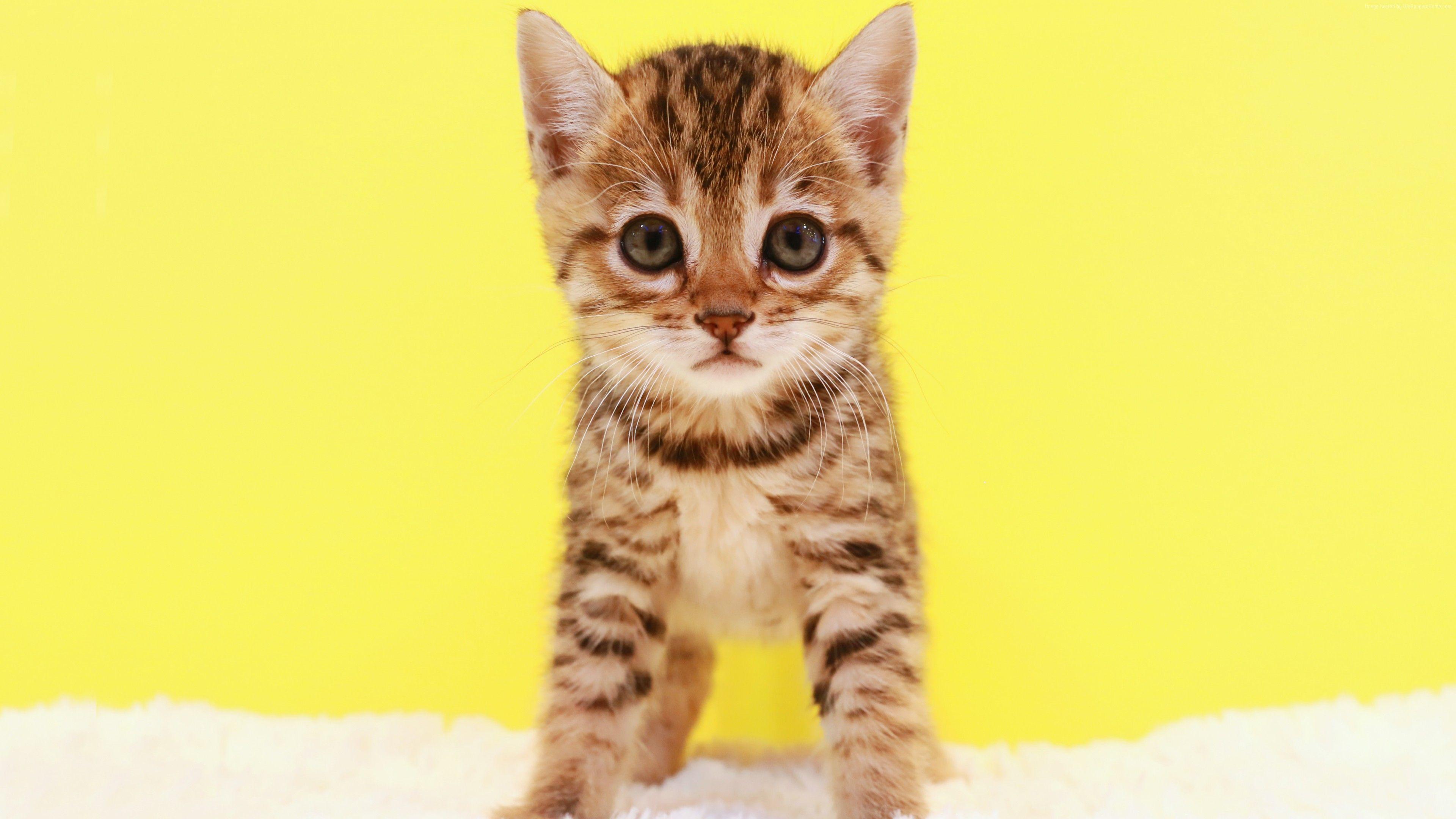 Wallpaper Kitten Cat Cute 5k Animals Https Www Pxwall Com Wallpaper Kitten Cat Cute 5k Animals Animals Kitten Cats
