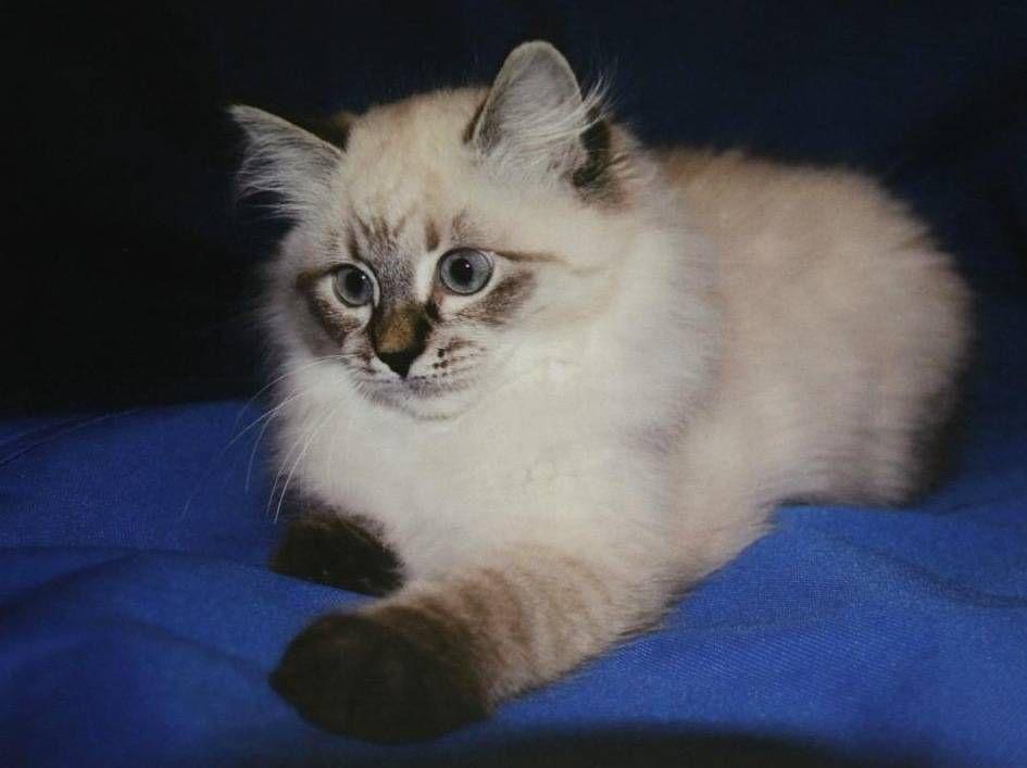Presidentti Halosen tuleva kissa on neva masquerade -rotuinen. Kuva Dmitri Medvedevin Facebook-sivulta.